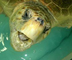 AQUA_turtle