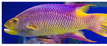 Sc-aquarium-spanish-hogfish-animal-spec-sheet